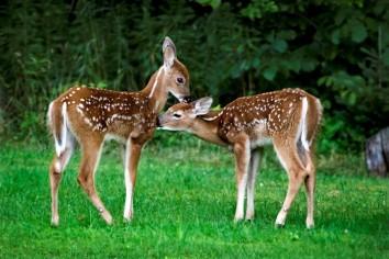 twin-deer